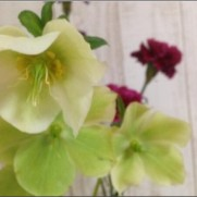 """Florist花秀さんはTwitterを使っています: """"クリスマスローズ(切花) とても繊細なお花で、水下がりしやすいですが、根強いファンは多いと思います。 もし、茎が垂れてきたら、湯上げをオス..."""